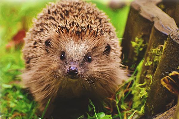 hedgehog - Alternatives to pesticide