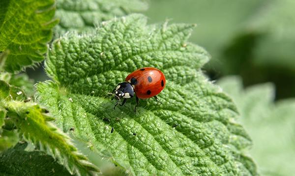 ladybird - Alternatives to pesticide
